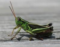 grasshopper edit